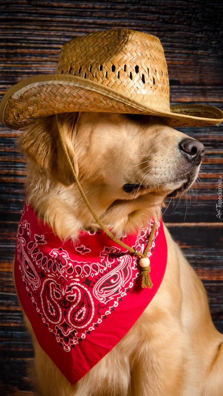 Golden retriever w apaszce i kapeluszu