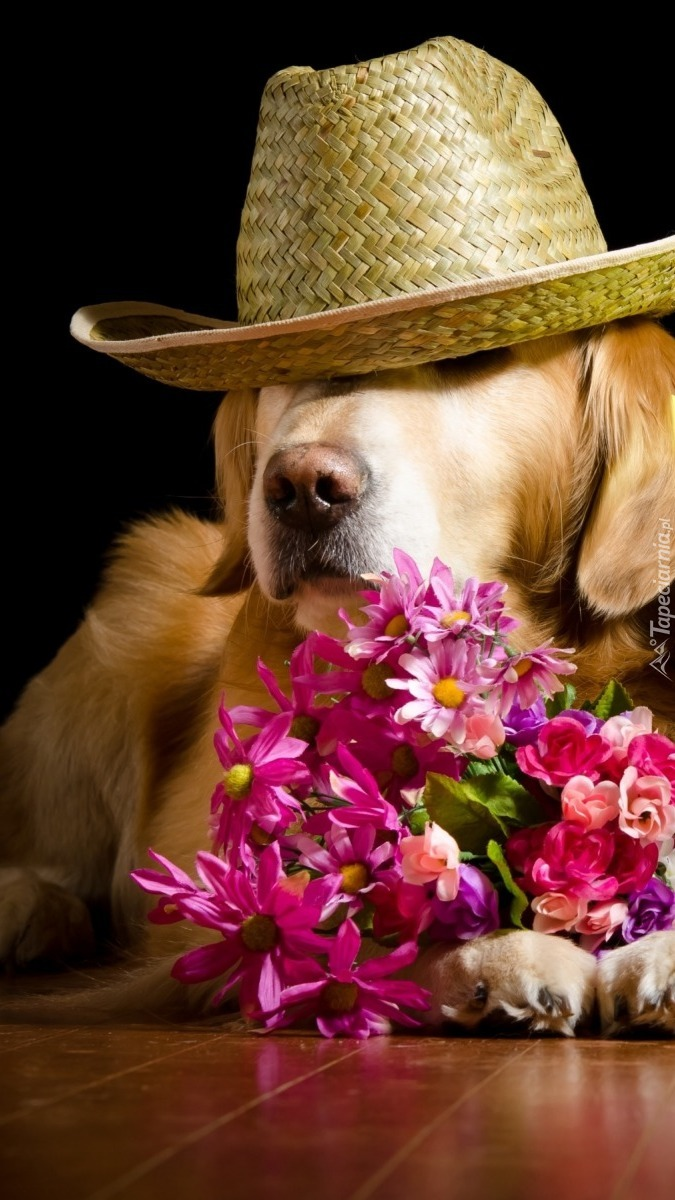 Golden retriever w kapeluszu
