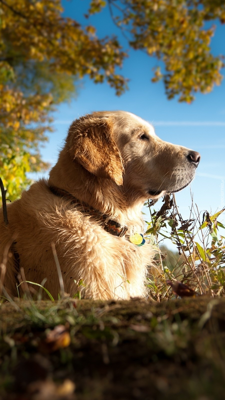 Golden Retriever wygrzewający się w jesiennym słońcu