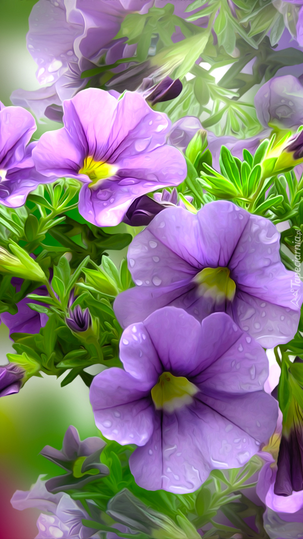 Grafika fioletowych petunii