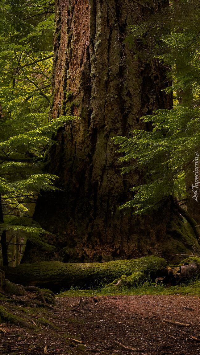 Gruby pień drzewa w lesie