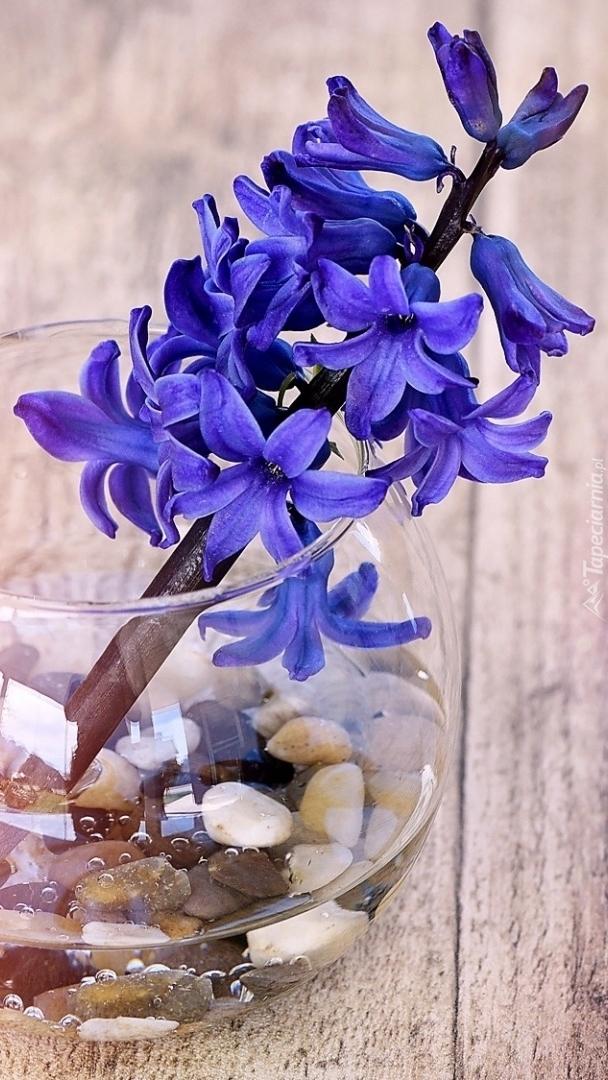 Hiacynt w szklanym wazoniku