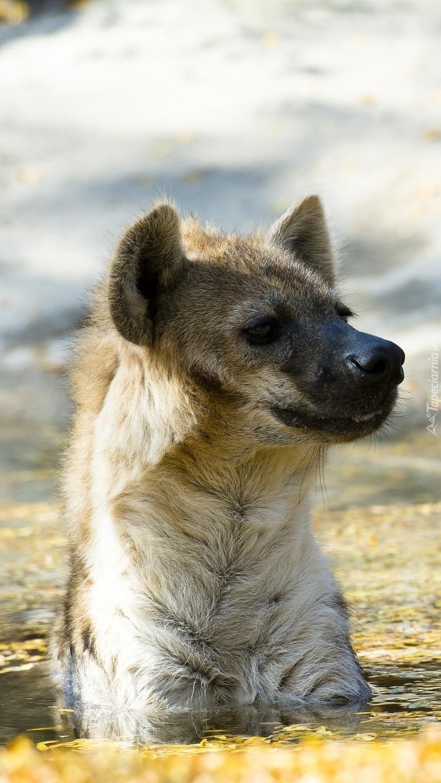 Hiena cętkowana  mocząca się w wodzie