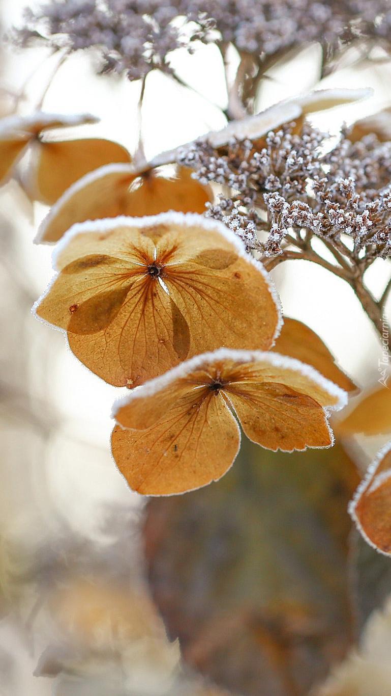 Hortensja ozdobiona śniegiem