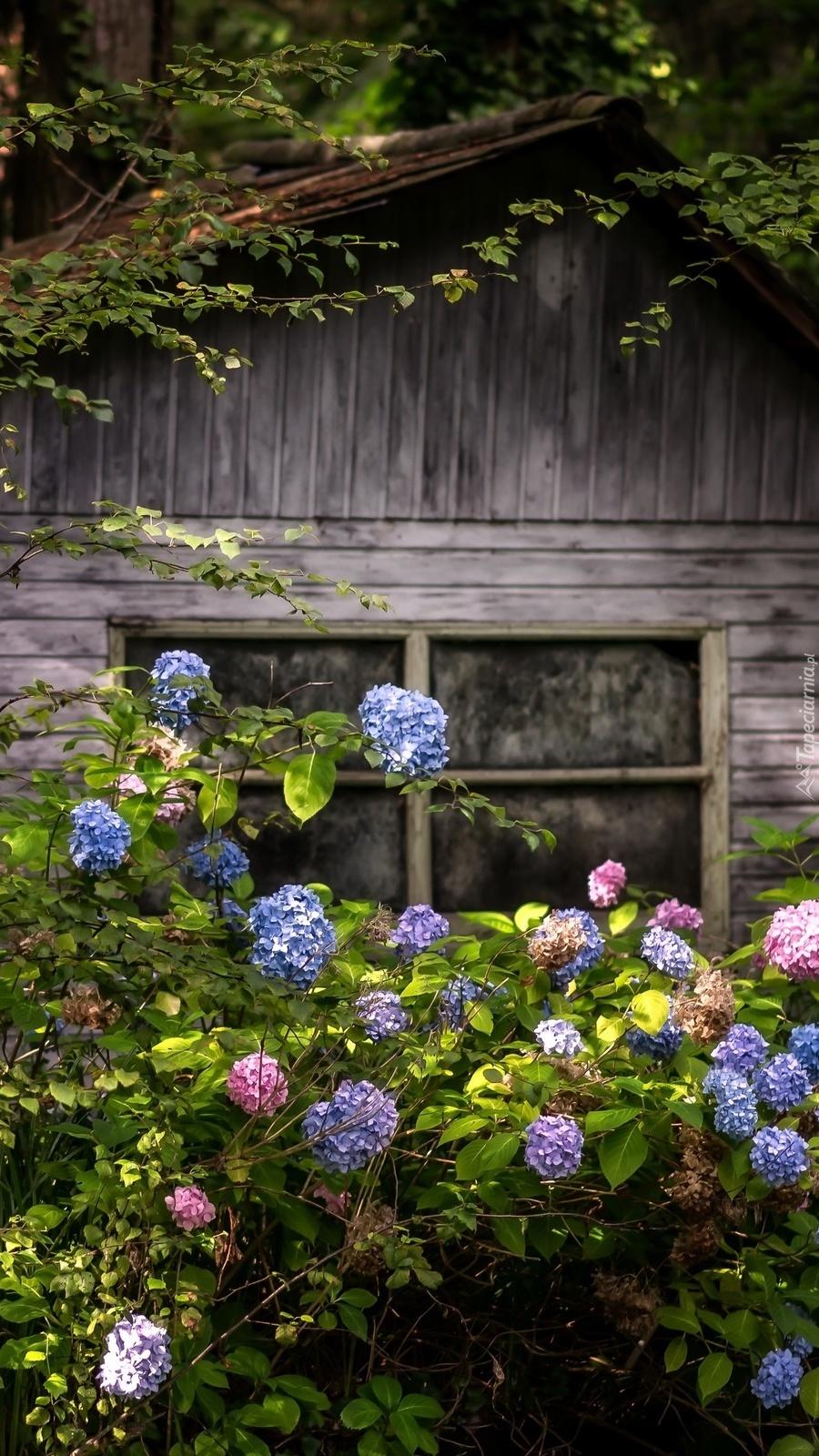 Hortensje przed drewnianym domkiem