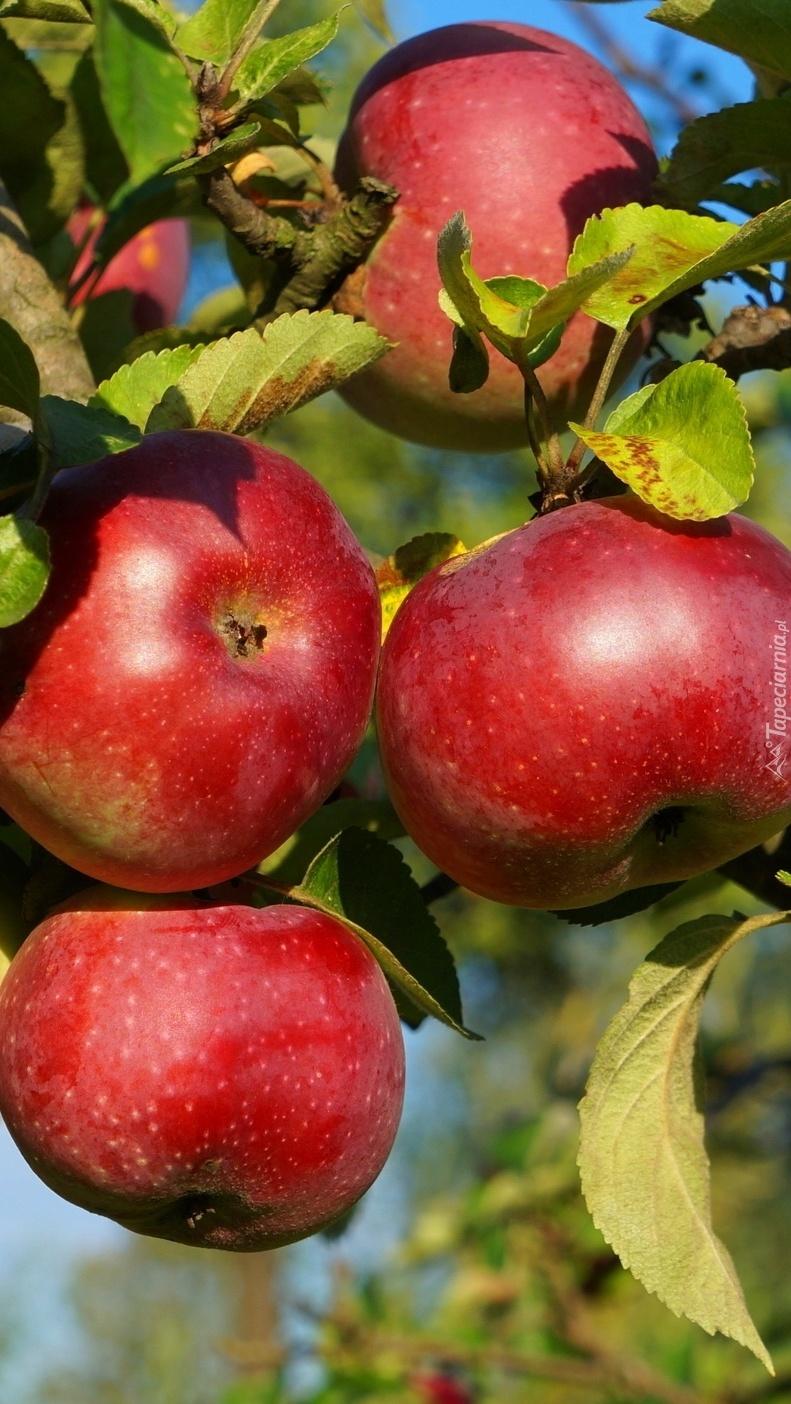 Jabłka w zbliżeniu