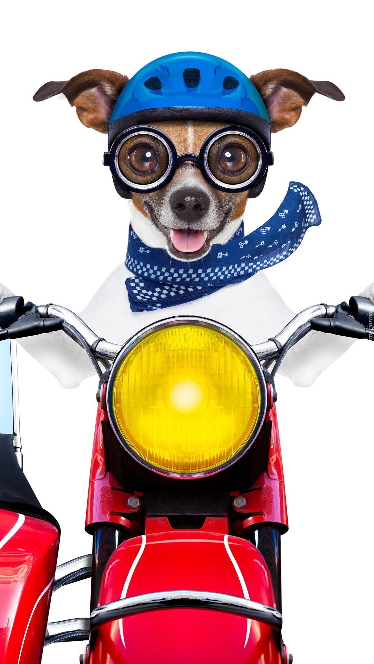 Jack Russell terrier na motocyklu