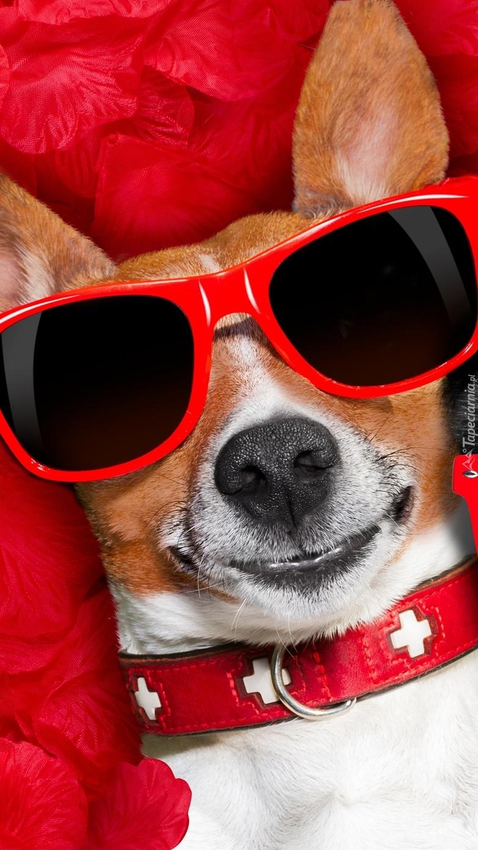 Jack Russell terrier w okularach