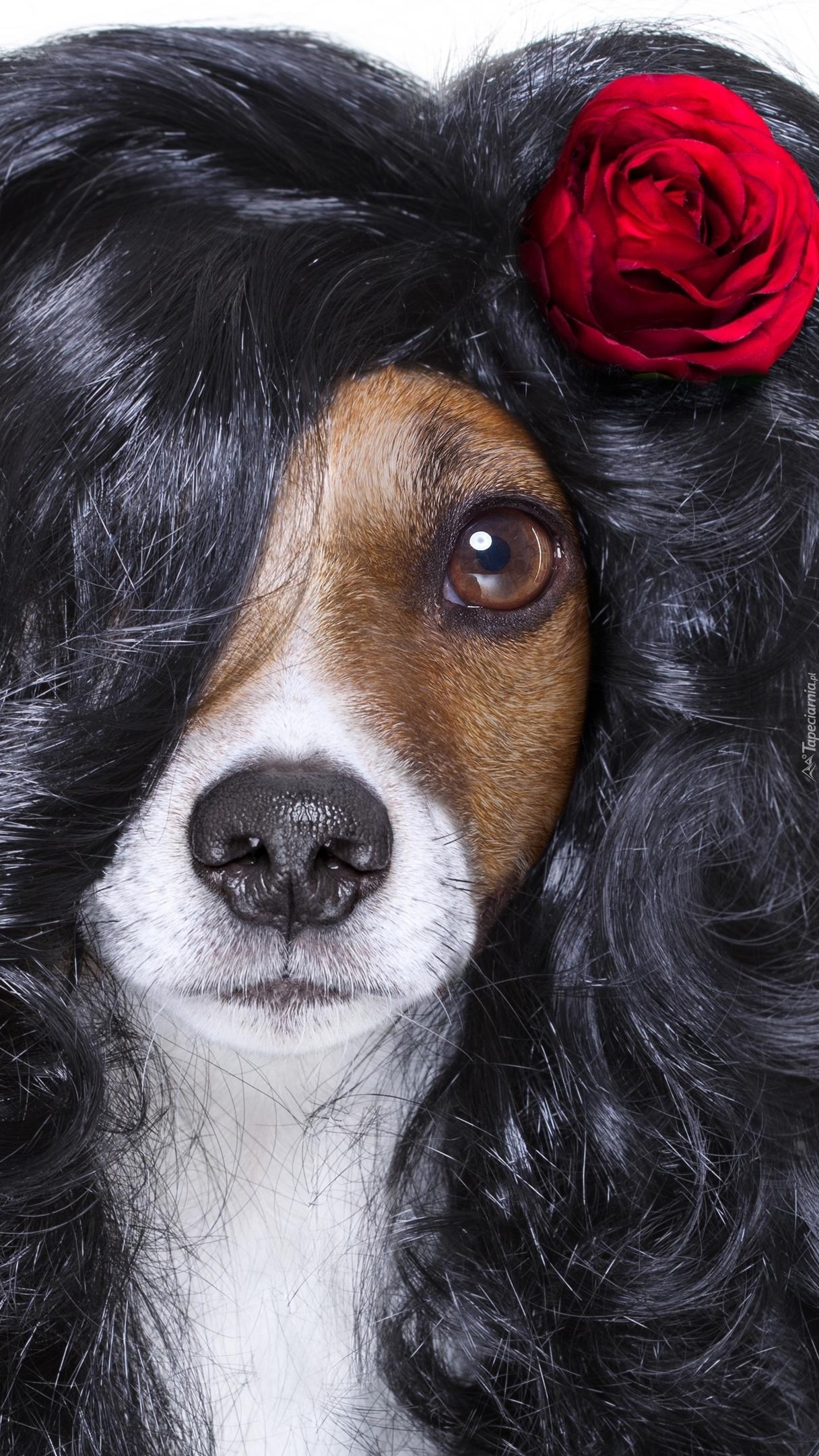 Jack Russell terrier w peruce z różą