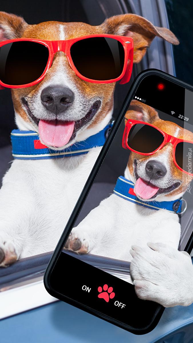 Jack Russell terrier z selfie