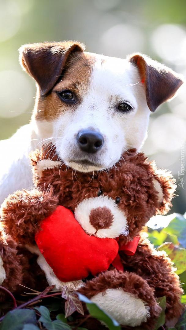 Jack Russell terrier z zabawką