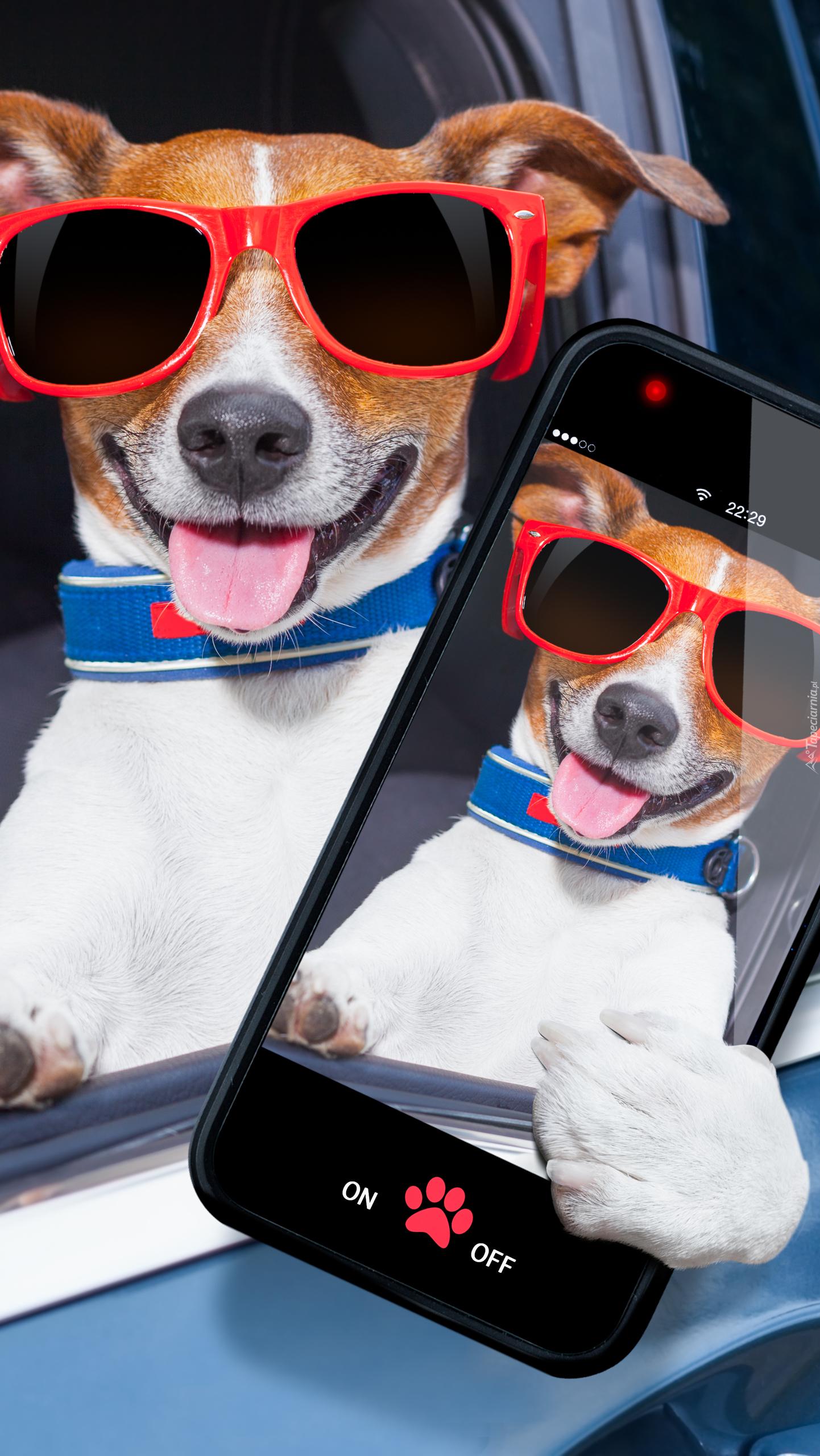 Jack Russell terrier ze smartfonem
