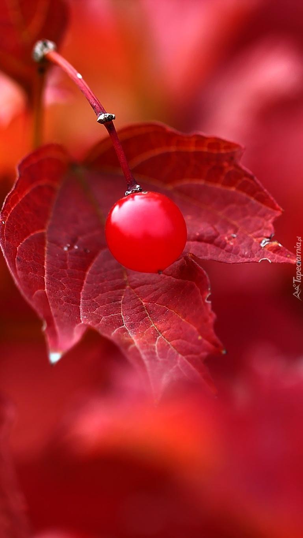 Jagoda na czerwonym  liściu