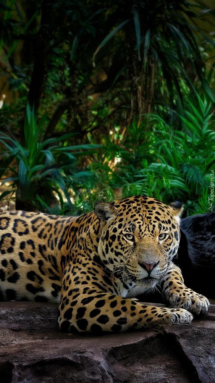Jaguar leżący na skale