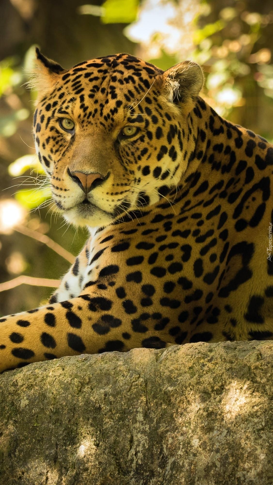 Jaguar na skale znakomicie wtopiony w tło