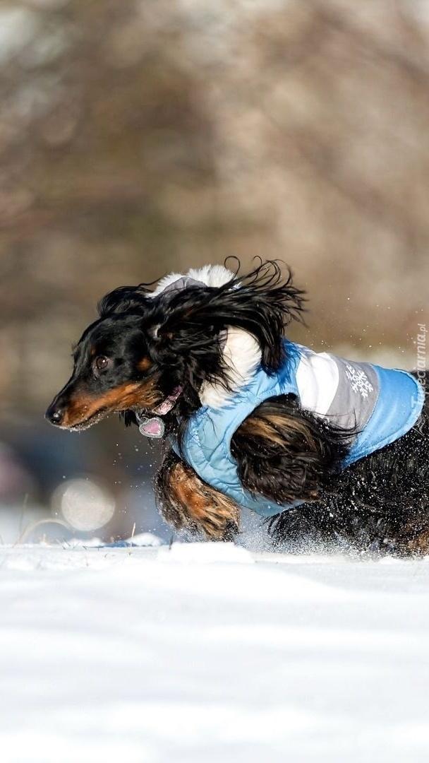 Jamnik biegnie po śniegu