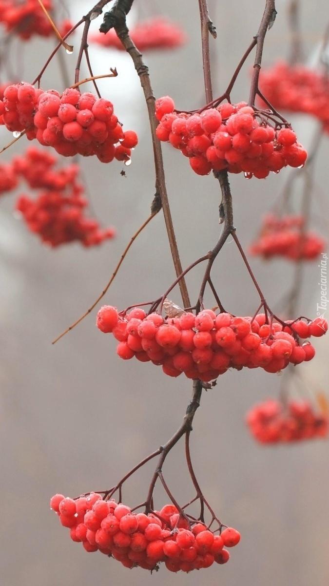 Jarzębina czerwona