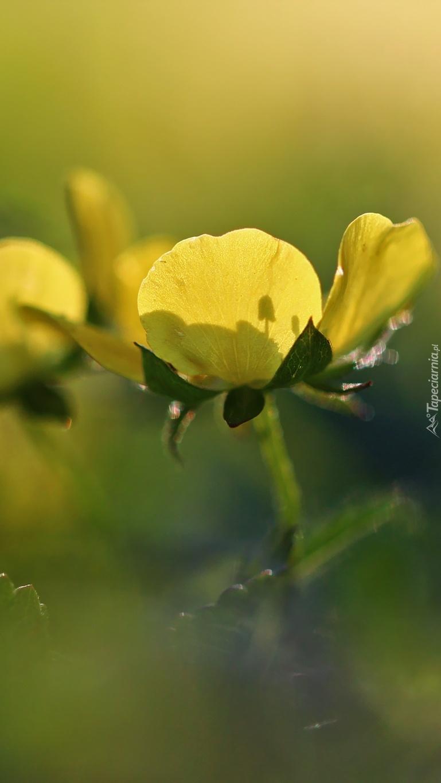 Jaskier żółty