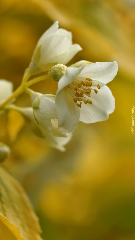 Jaśminowiec o bielutkich kwiatkach