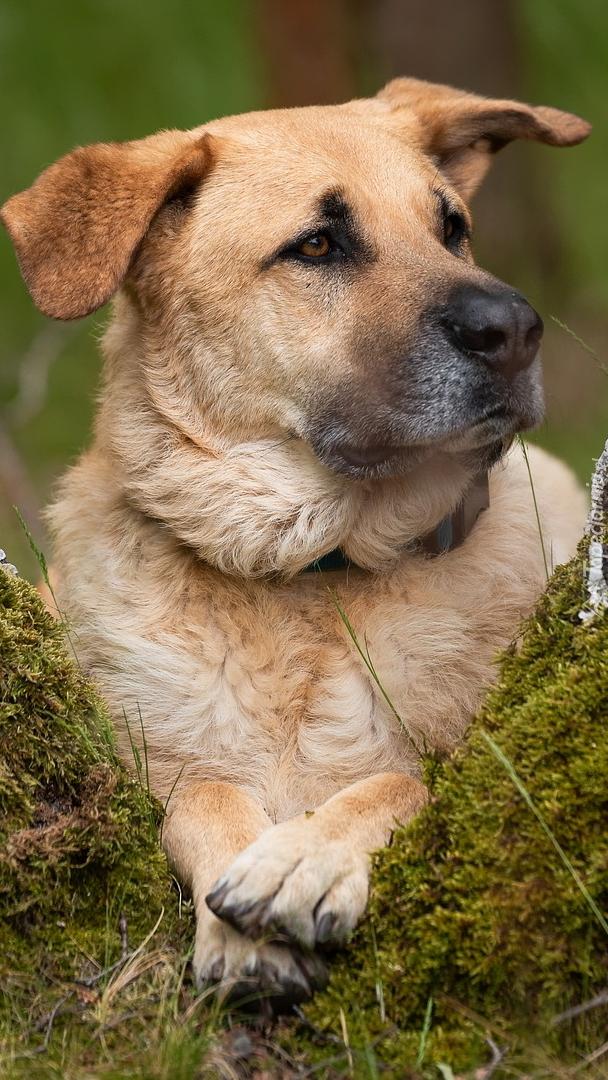 Jasnobrązowy pies na mchu