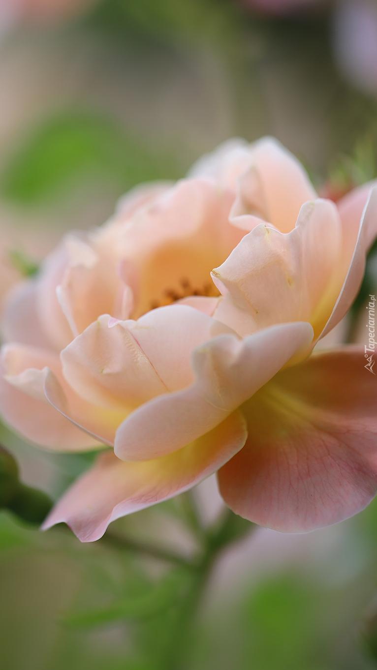 Jasnoróżowa róża