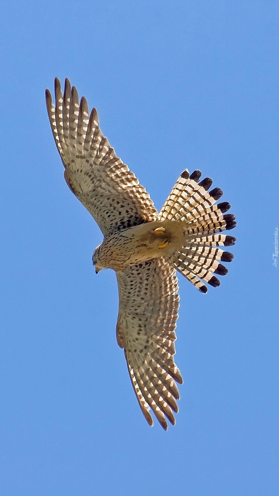 Jastrząb z rozpostartymi skrzydłami