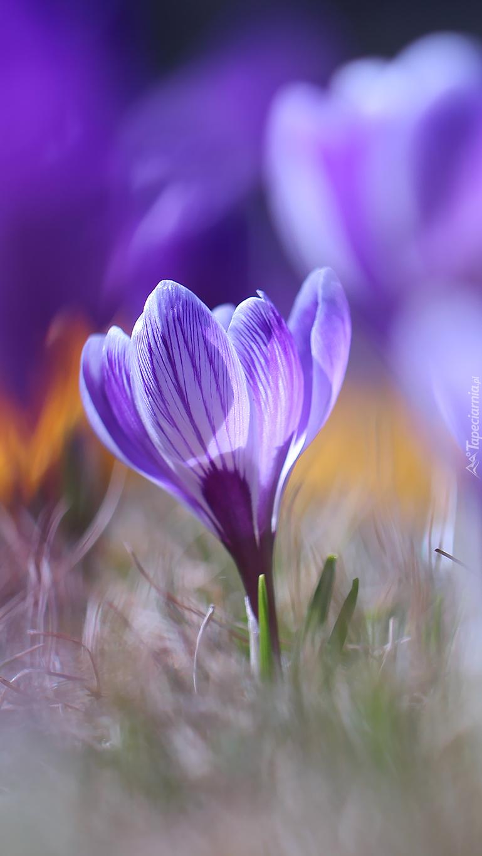Jeden fioletowy krokus