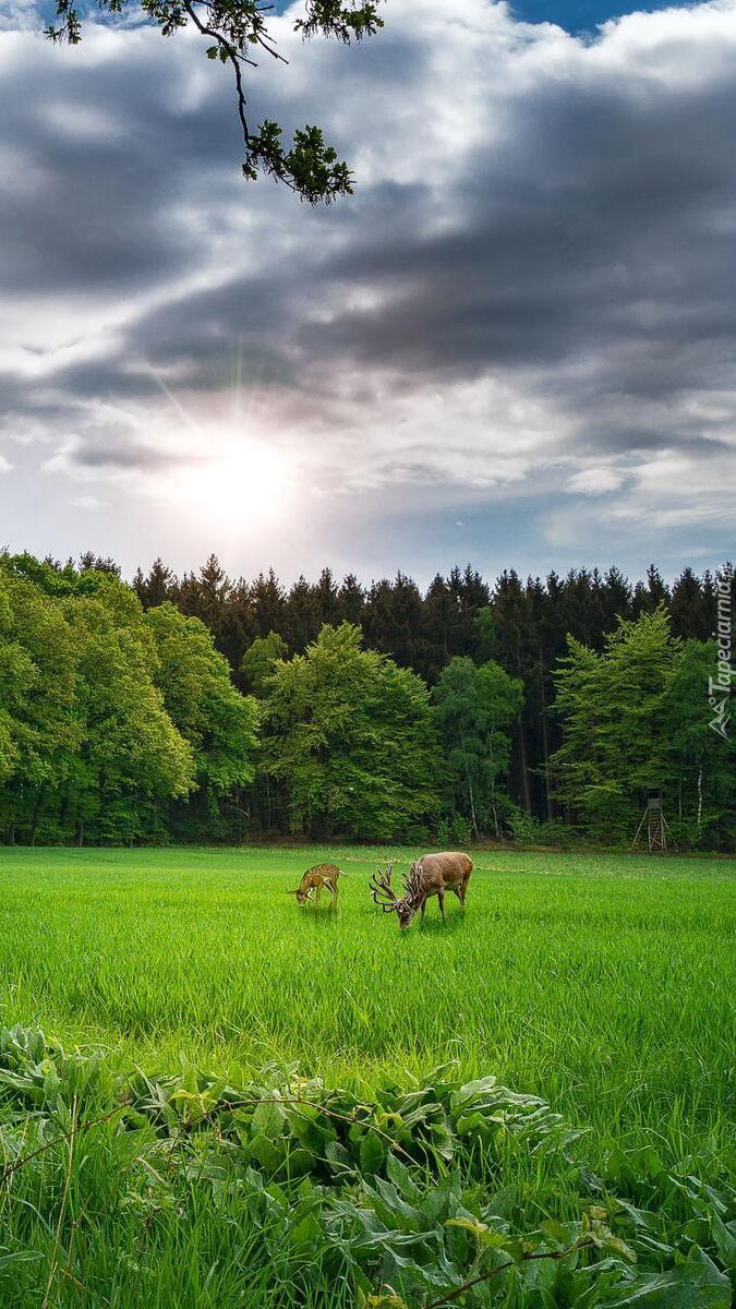 Jeleń i sarna polanie