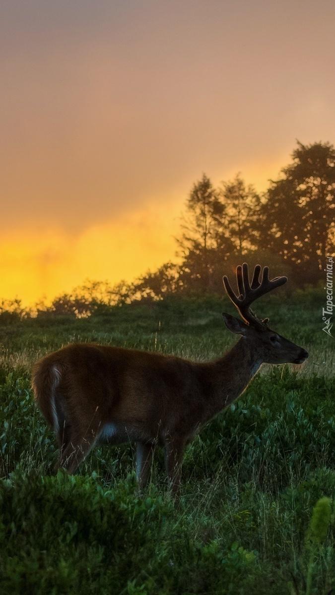 Jeleń o zachodzie słońca na łące