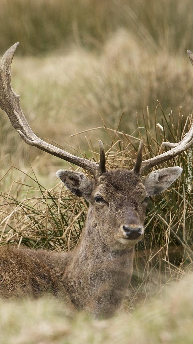 Jeleń w trawie