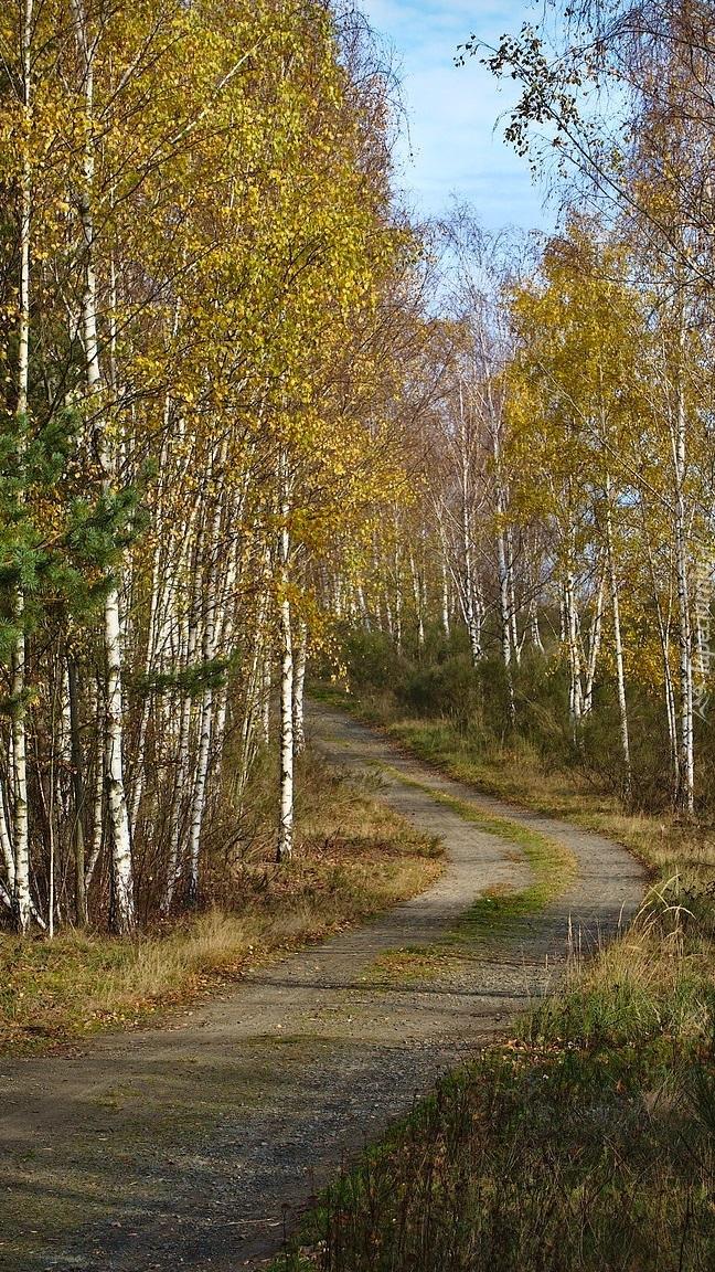 Jesienne brzozy przy leśnej drodze