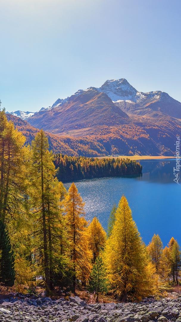 Jesienne drzewa nad jeziorem Silsersee w Szwajcarii
