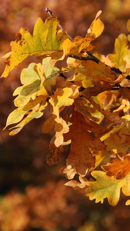 Jesienne liście dębu