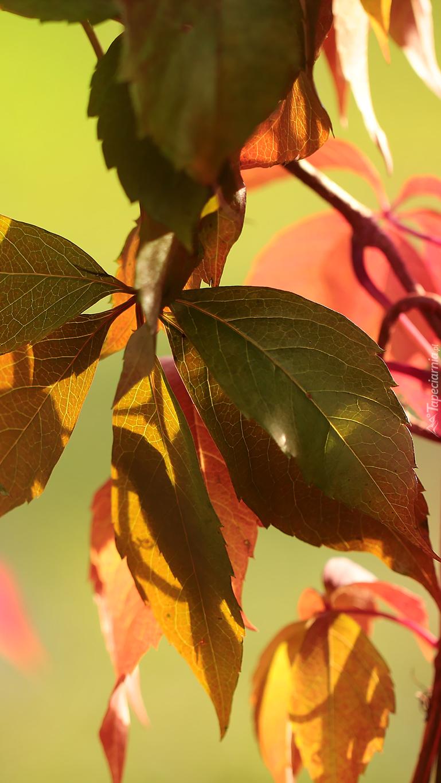 Jesienne liście dzikiego wina
