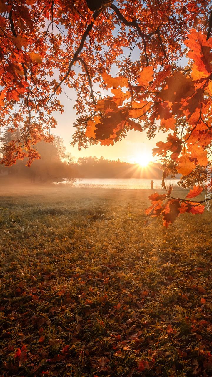 Jesienne liście na dębie w promieniach słońca