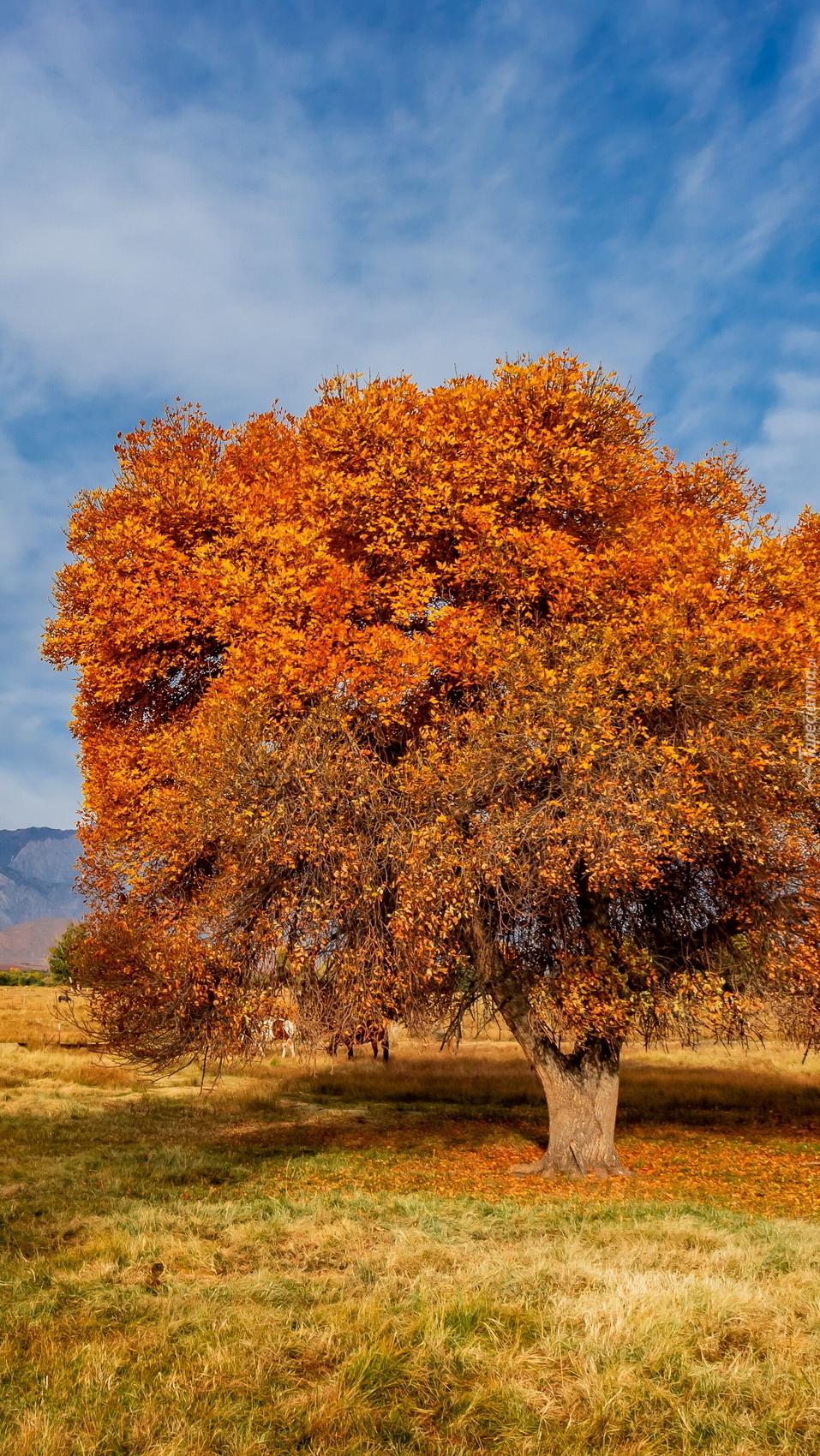 Jesienne rozłożyste drzewo na polanie