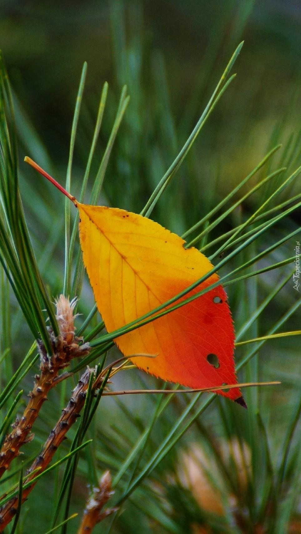 Jesienny listek w igliwiu