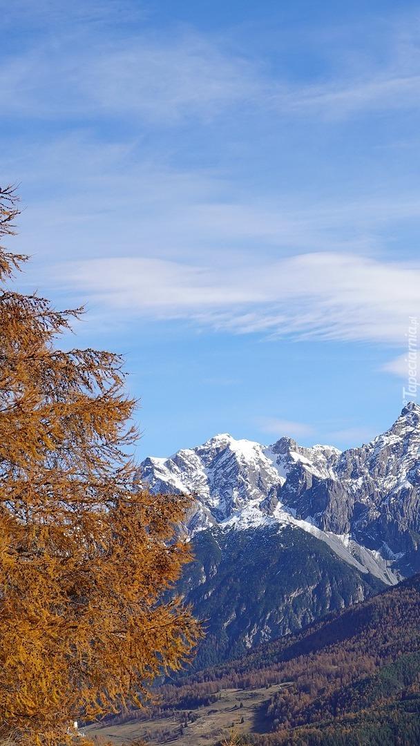 Jesienny modrzew na tle gór