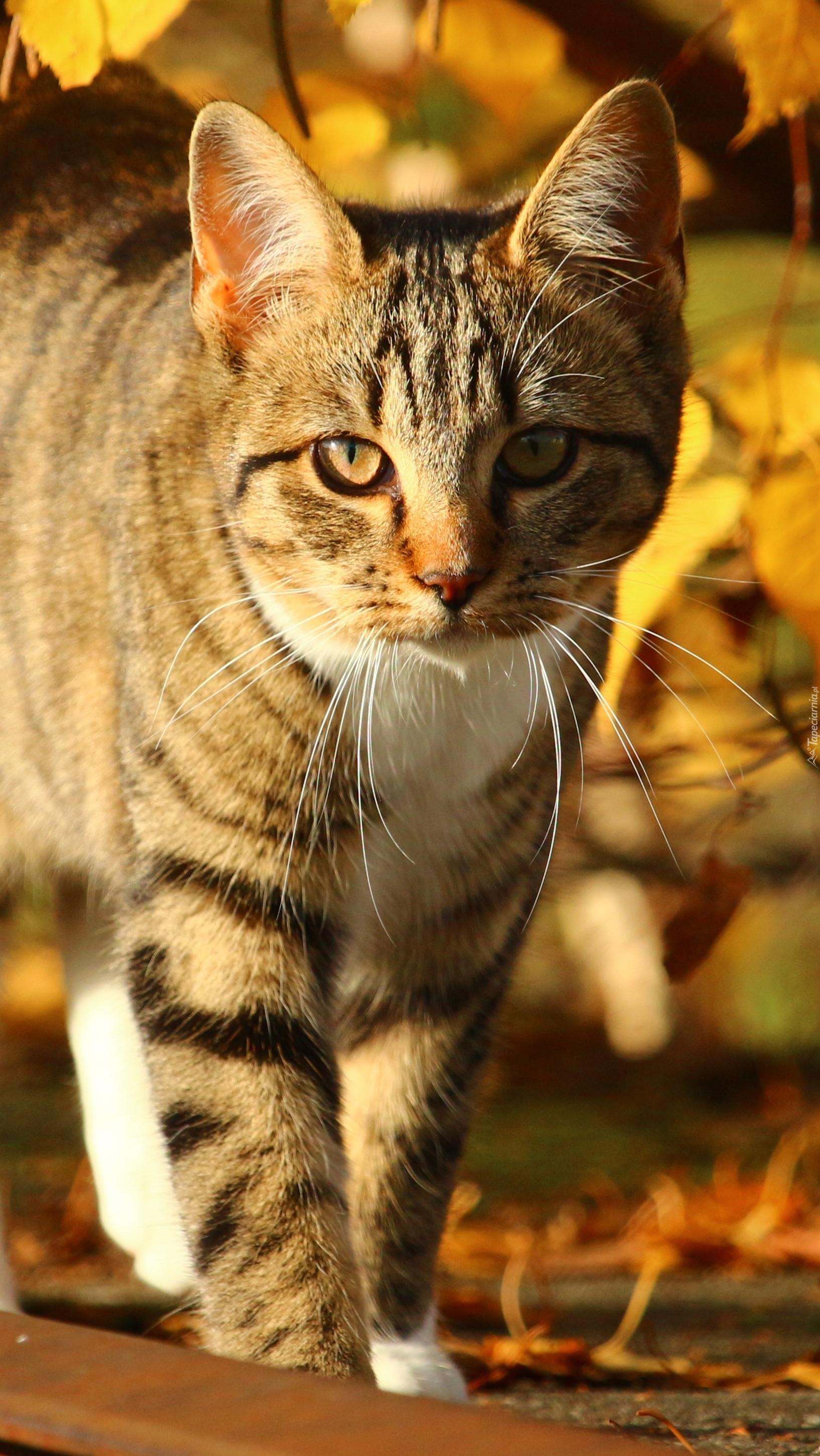 Jesienny spacer pręgowanego kota