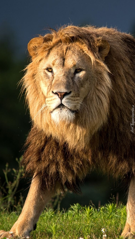 Jestem Lew król Lew