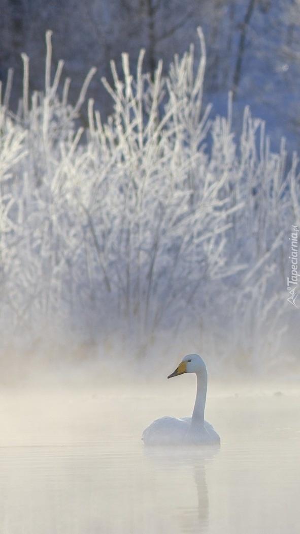 Jezioro łabędzie we mgle