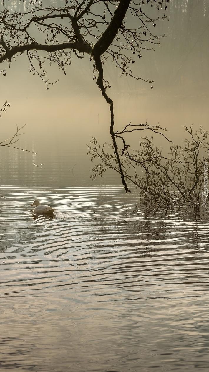 Kaczka na jeziorze