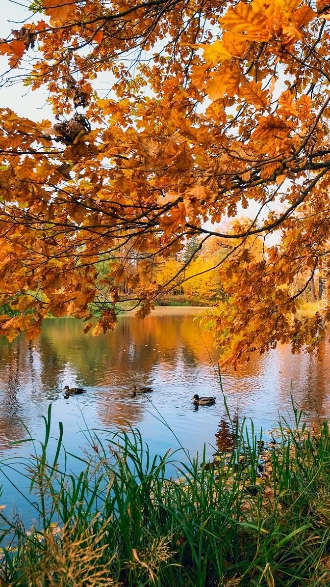 Kaczki na stawie jesienią