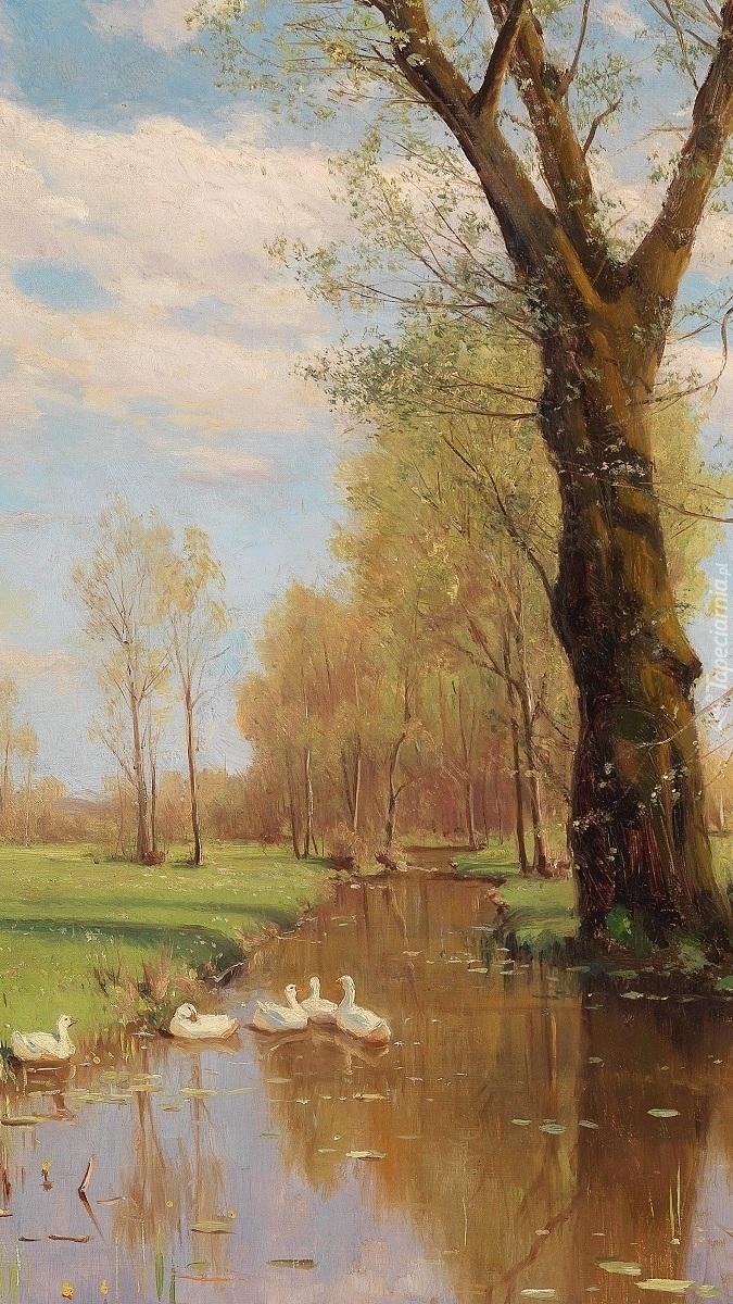 Kaczki pływające po rzece