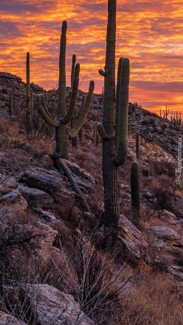 Kaktusy karnegie olbrzymie