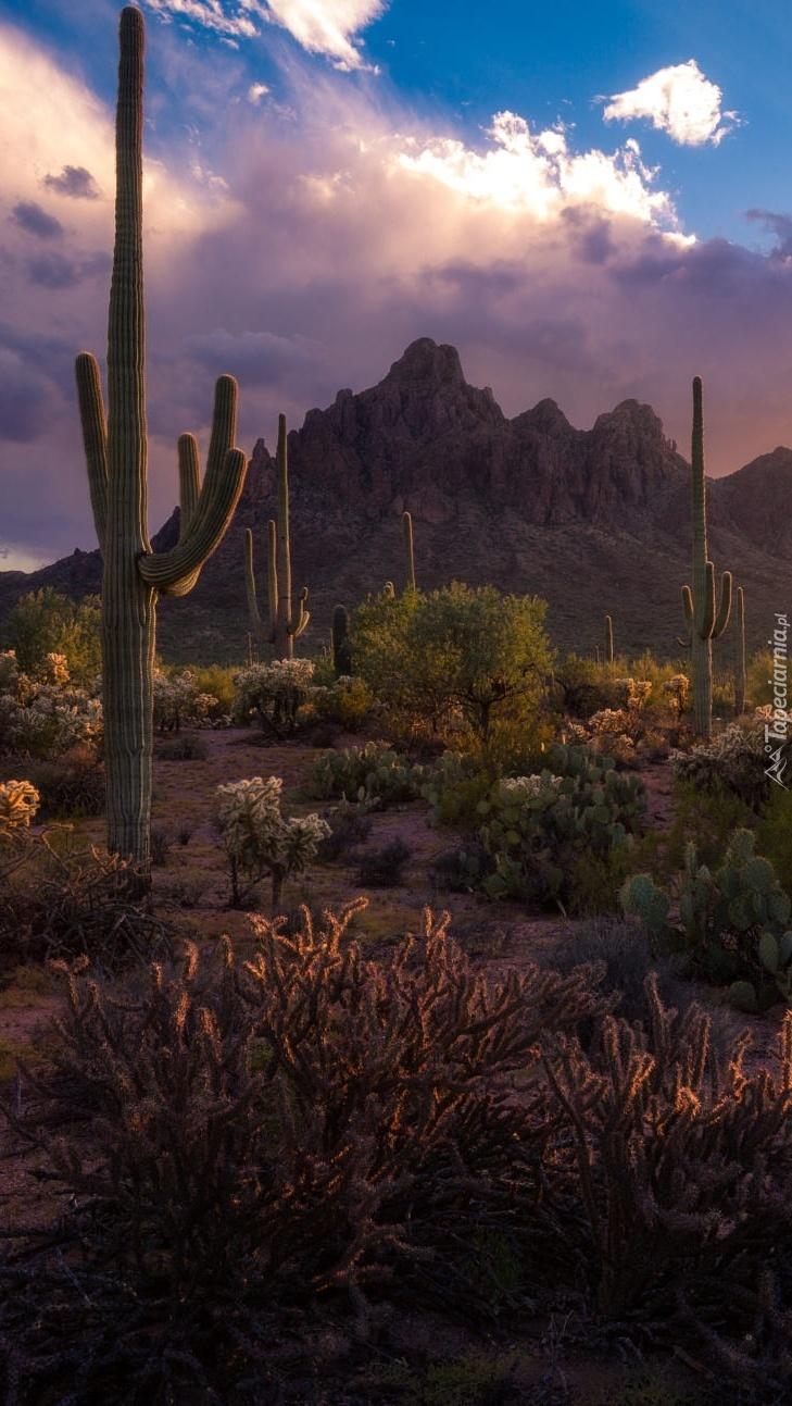 Kaktusy saguaro na tle gór