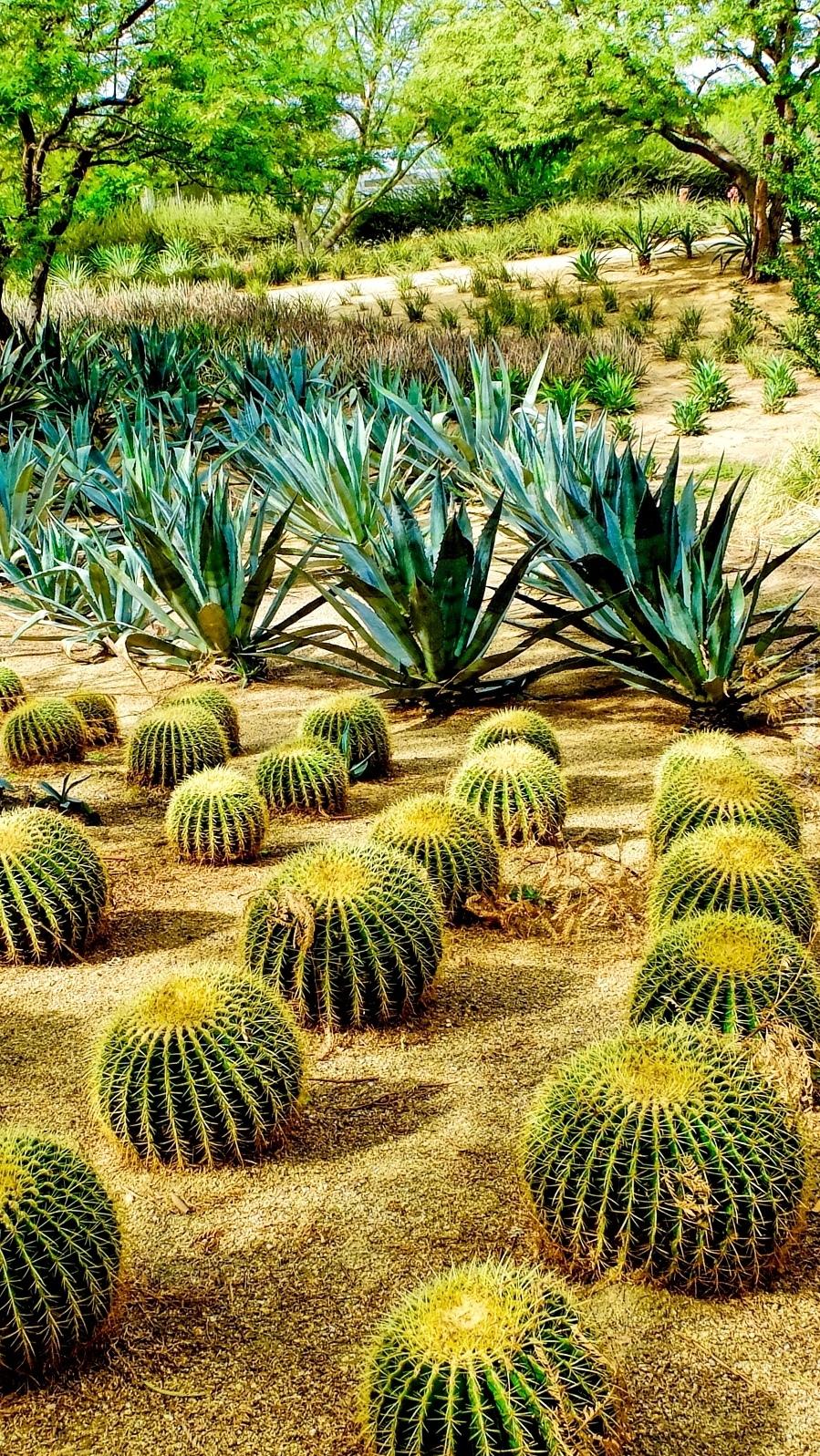 Kaktusy w parku