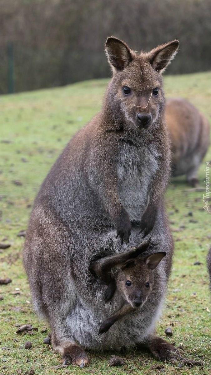Kangurzyca z młodym w torbie