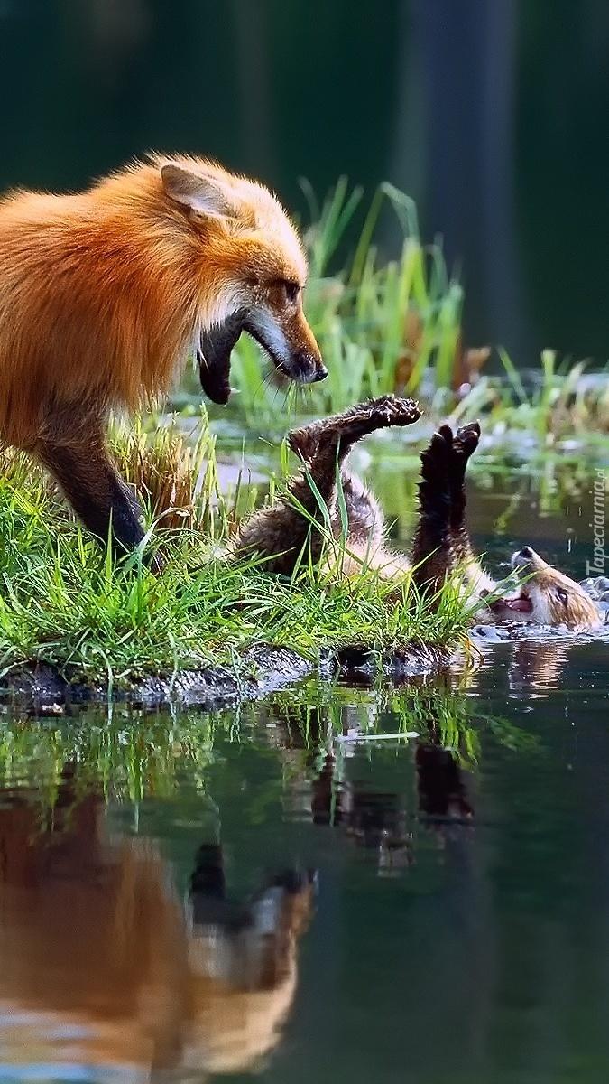 Kąpiel lisków