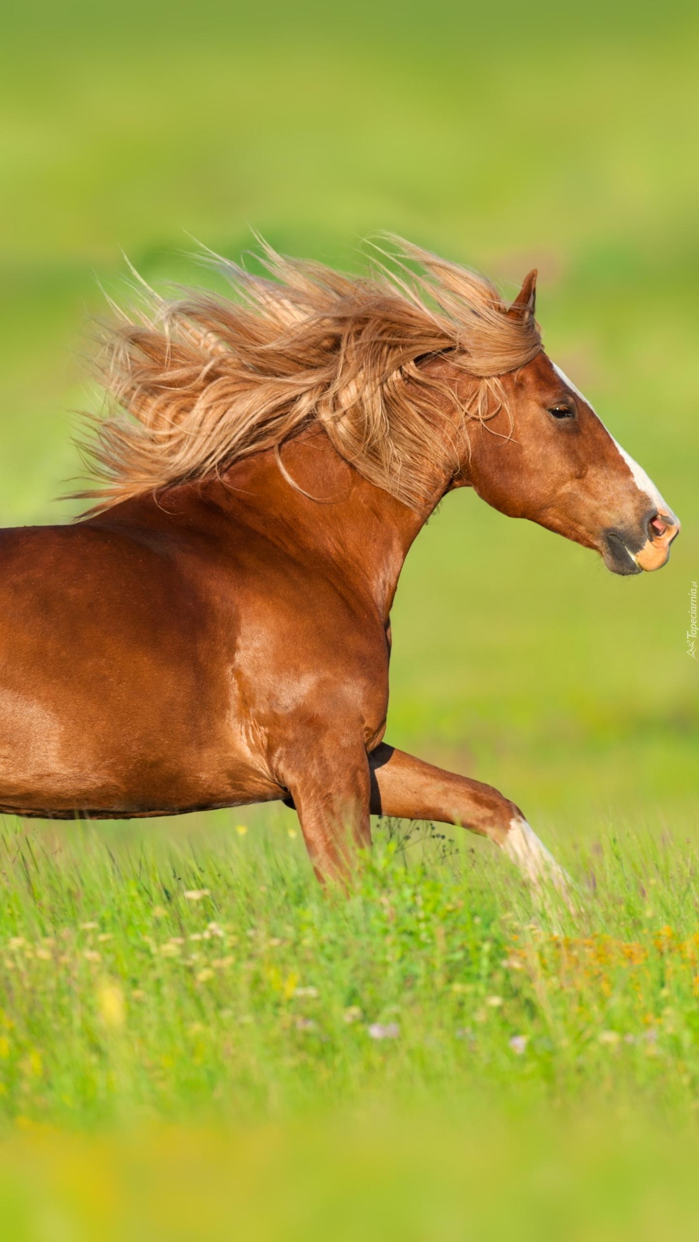 Kasztanowaty koń